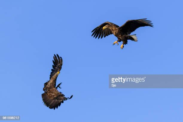 White-tailed eagles or sea eagle fighting in the sky over Northern Norway