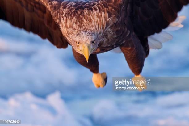 White-tailed sea eagle flying