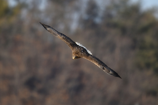 White-tailed Sea Eagle - gettyimageskorea