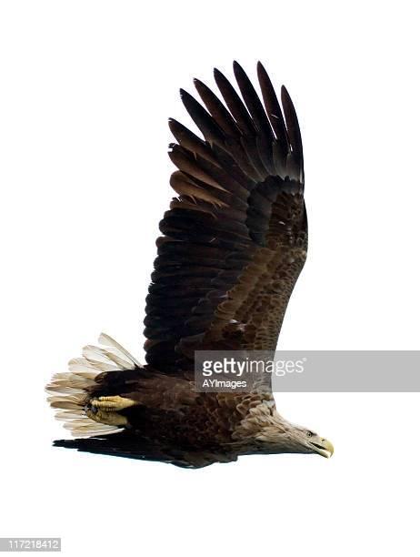 Mar águila de cola blanca (Haliaeetus albicilla