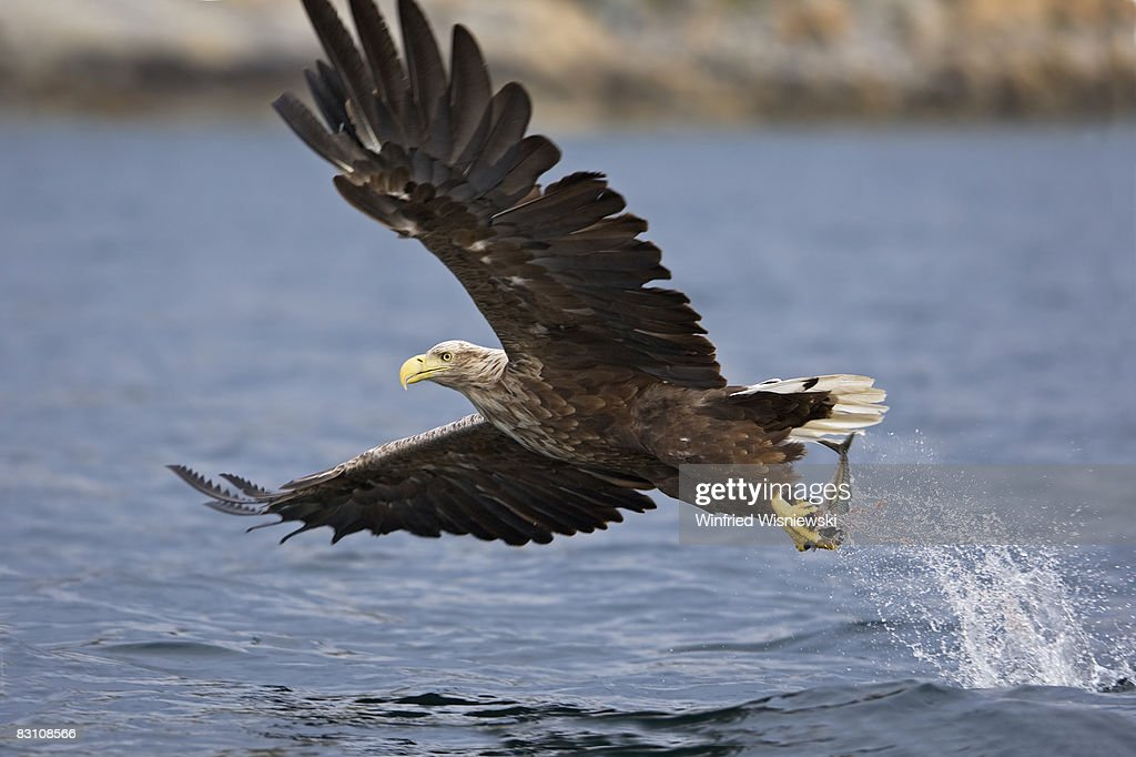 white-tailed sea eagle : Stock Photo