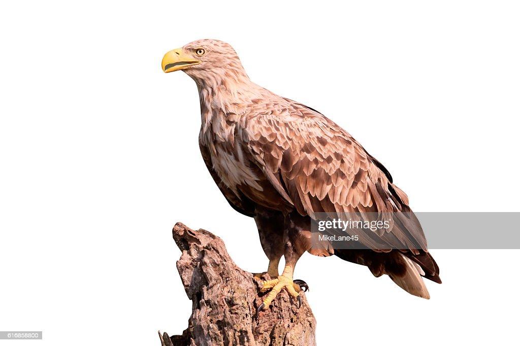 White-tailed sea-eagle, Haliaeetus albicilla : Stock Photo