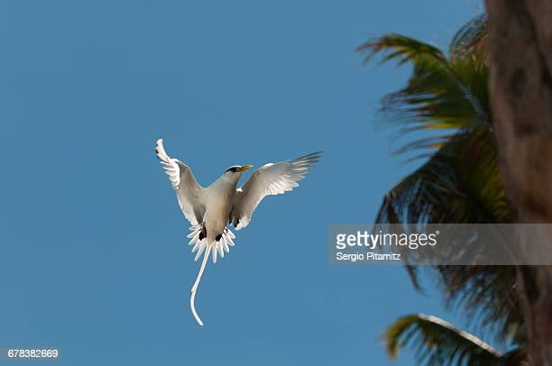 white-tailed tropicbird (phaethon lepturus), fregate island, seychelles, indian ocean, africa - fregate stock photos and pictures