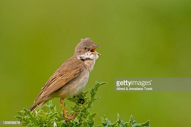 whitethroat (sylvia communis) - vista lateral stock pictures, royalty-free photos & images