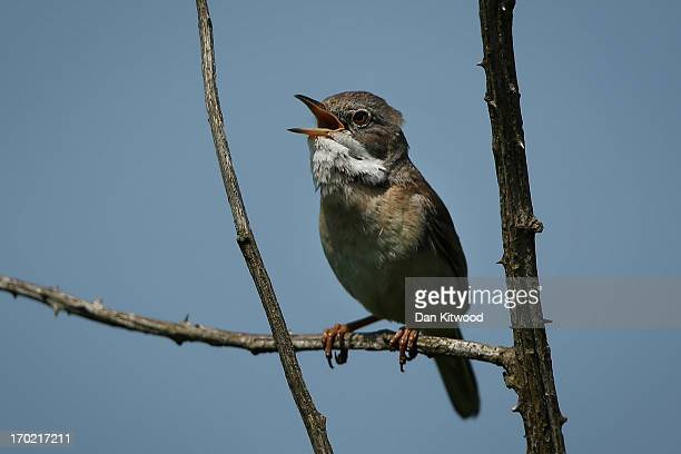 Whitethroat sings from a perch at 'Thurrock Thameside Nature Park' on June 6 2013 in Thurrock England The 120 acres of grass bramble and shrub that...