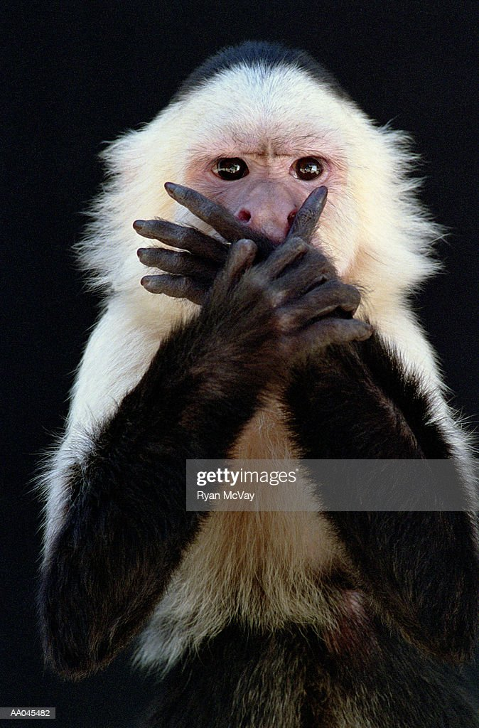 White-throated capuchin (Cebus capucinus) covering mouth with hands : Stock Photo