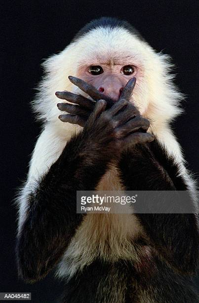 white-throated capuchin (cebus capucinus) covering mouth with hands - see no evil hear no evil speak no evil stock pictures, royalty-free photos & images