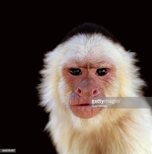 white-throated capuchin monkey (cebus capucinus), close-up - mono capuchino fotografías e imágenes de stock