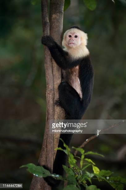 white-throated capuchin monkey - capuchin monkey stock pictures, royalty-free photos & images