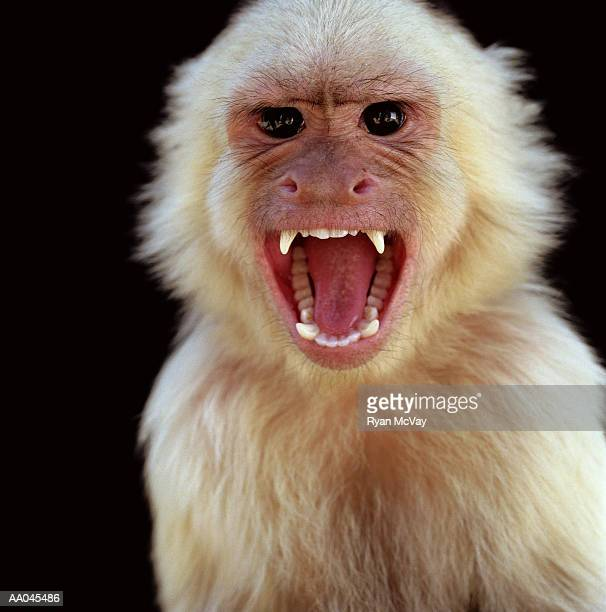 White-throated capuchin monkey (Cebus capucinus) screaming