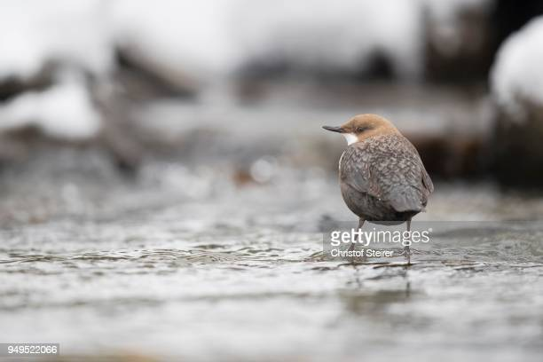 white-throated dipper (cinclus cinclus) in mountain stream, stubai valley, tyrol, austria - bamboo dipper stock photos and pictures