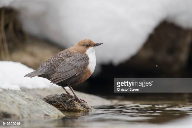 white-throated dipper (cinclus cinclus) on stone at mountain stream, stubai valley, tyrol, austria - bamboo dipper stock photos and pictures