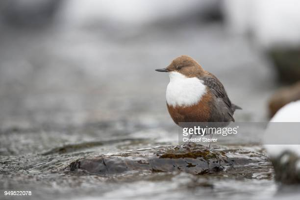white-throated dipper (cinclus cinclus) on stone in mountain stream, stubai valley, tyrol, austria - bamboo dipper stock photos and pictures