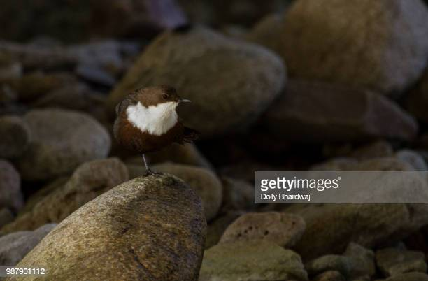 white-throated dipper - bamboo dipper stock photos and pictures
