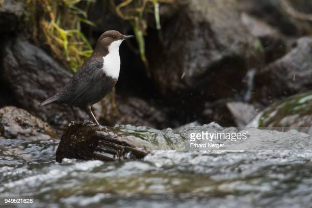 white-throated dipper (cinclus cinclus), sitting on a stone in a stream, emsland, lower saxony, germany - bamboo dipper stock photos and pictures