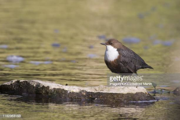 white-throated dipper (cinclus cinclus) standing on stone in water, hesse, germany - bamboo dipper stock photos and pictures
