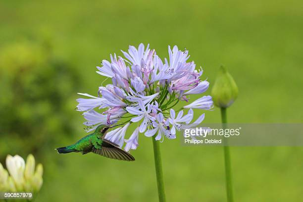 White-throated hummingbird feeding blue agapanthus