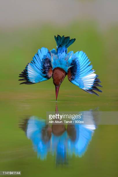 white-throated kingfisher diving - kingfisher stock pictures, royalty-free photos & images