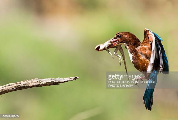 white-throated kingfisher - photostock stock pictures, royalty-free photos & images