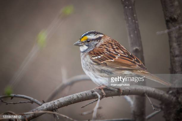 white-throated sparrow. (zonotrichia albicollis). - male animal stock pictures, royalty-free photos & images