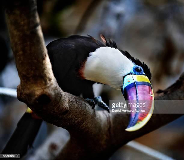white-throated toucan - tucano imagens e fotografias de stock