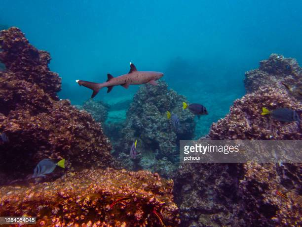 whitetip reef shark, galapagos islands - reef shark stock pictures, royalty-free photos & images