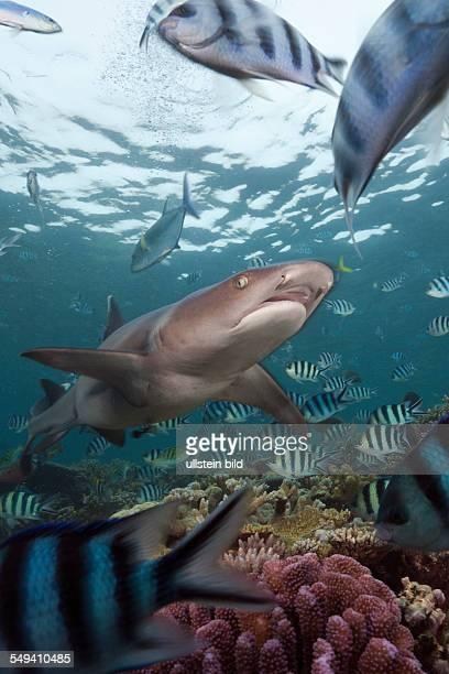 Whitetip Reef Shark Triaenodon obesus Beqa Lagoon Viti Levu Fiji