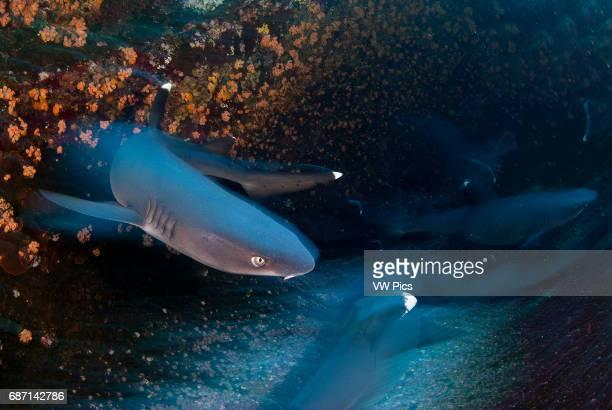 Whitetip shark, Triaenodon obesus, swimming at roca partida, Revillagigedo archipelago, pacific ocean Mexico.