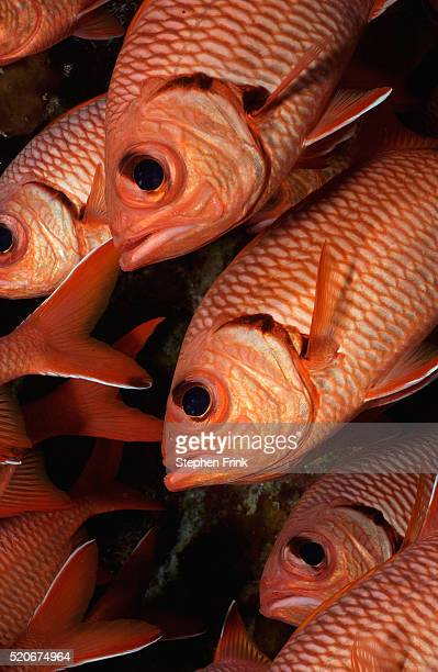 whitetip soldierfish school beneath coral ledge - squirrel fish 個照片及圖片檔