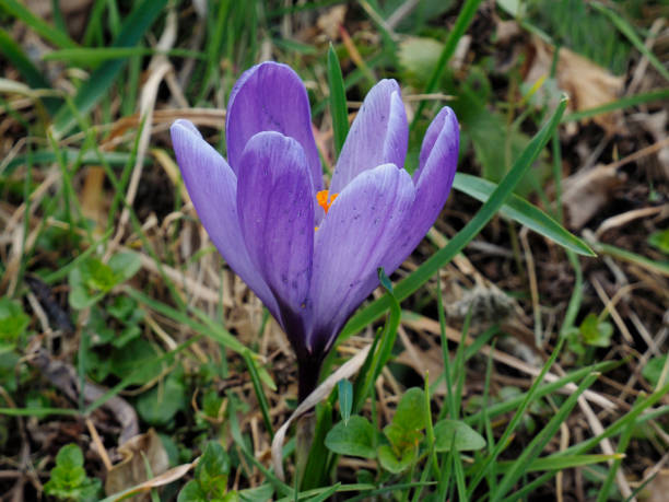 Whitewell Purple Crocus Flowering on a Pasture near Lake Maggiore
