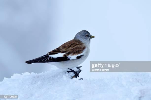 white-winged snowfinch or snowfinch (montifringilla nivalis), canton of valais, switzerland - {{asset.href}} stock-fotos und bilder
