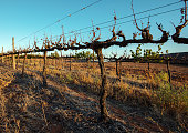 klawer south africa whithered wine grape