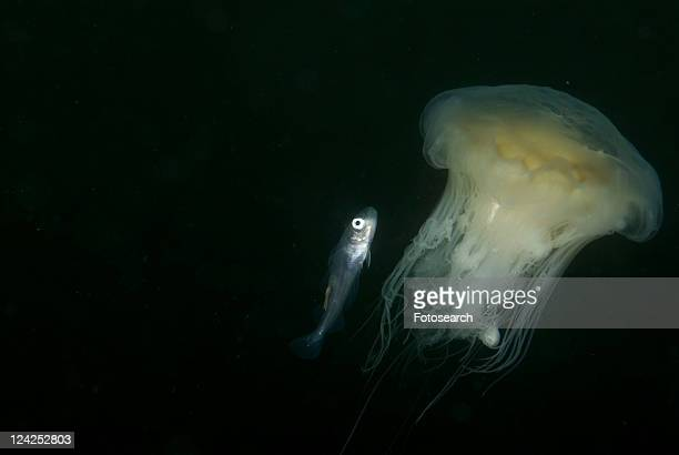 Whiting (Merlangius merlangius), Juvenile on Lions Mane Jellyfish, St Abbs, Scotland, UK