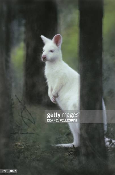 Whitish kangaroo in forest