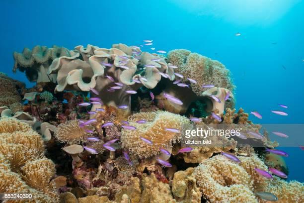 Whitleys Slender Basslet between Mushroom Leather Corals Luzonichthys whitleyi Great Barrier Reef Australia