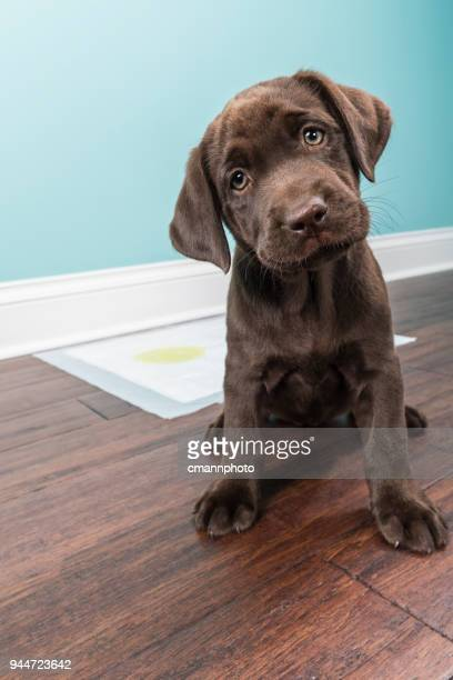 who is a good puppy for using the training pad? - 8 weeks old - head cocked stock pictures, royalty-free photos & images