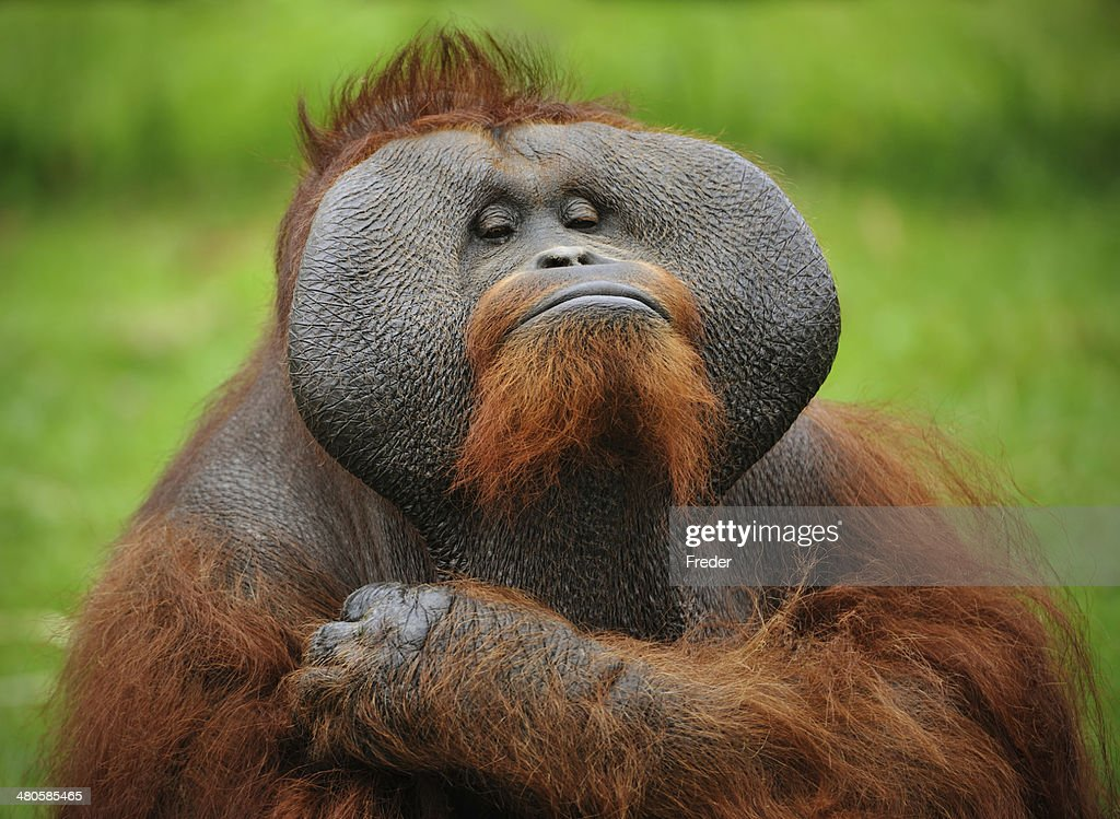 close-up of a proud orangutan