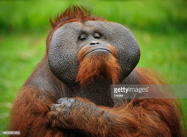 who is the boss? - primate stock pictures, royalty-free photos & images