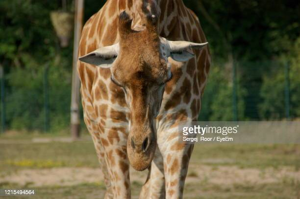 who said that the giraffe's neck is long - long neck animals stock pictures, royalty-free photos & images