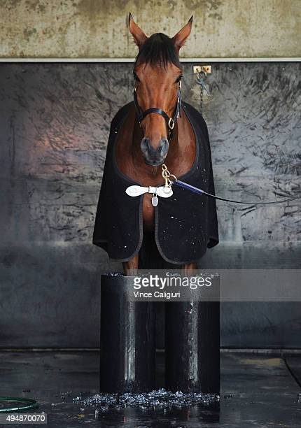 Who Shot Thebarman relaxes in ice buckets after a trackwork session at Flemington Racecourse on October 30 2015 in Melbourne Australia The Chris...