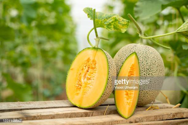 whole and sliced of japanese melons. - muskmelon stock pictures, royalty-free photos & images