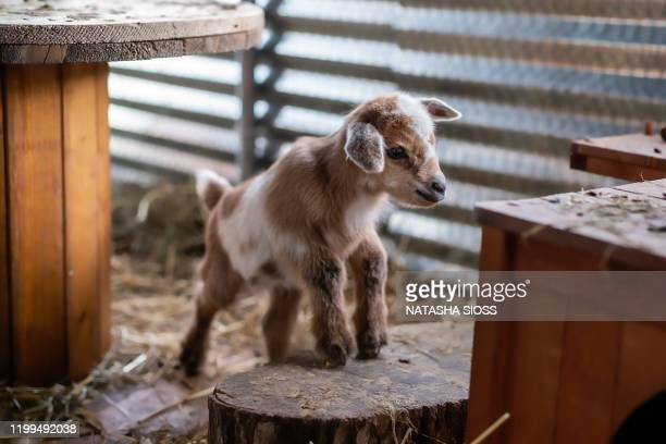 whole body view of a newborn baby goat in a pen - goat stock pictures, royalty-free photos & images