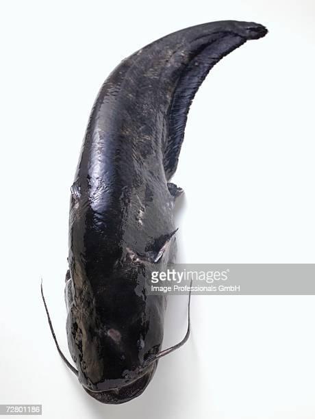 Whole fresh catfish