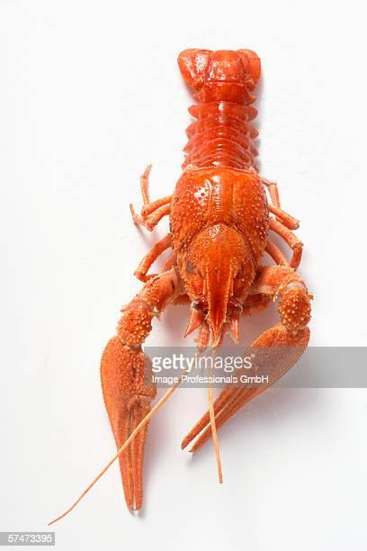 Whole freshwater crayfish