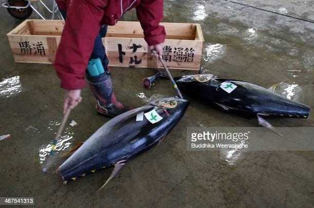 A wholesaler buyer transports fresh tuna during the auction at Kiikatuura fresh tuna market on February 7 2014 in Nachikatsuura Japan Kiikatsuura...