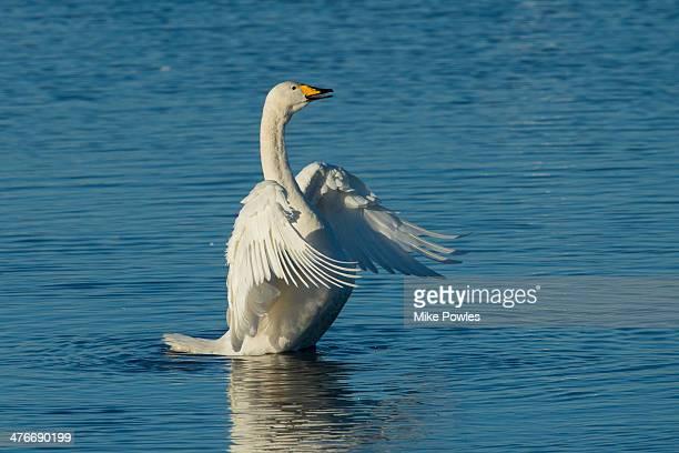 Whooper Swan, adult displaying, Norfolk