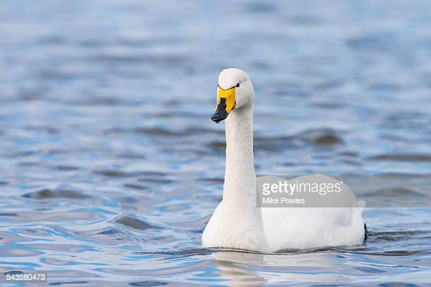 Whooper Swan adult swimming, Norfolk