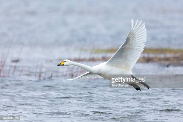 Whooper Swan Cygnus cygnus in flight and coming in to land with wings and feathers spread wide at Welney Wetland Centre Norfolk England
