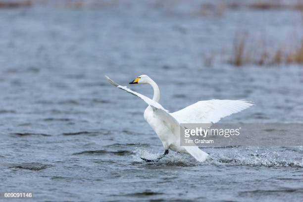 Whooper Swan Cygnus cygnus in flight and landing with wings spread wide and water splashing at Welney Wetland Centre Norfolk England