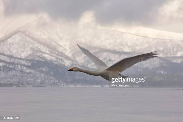 Whooper Swan, Cygnus cygnus, mid-air in winter.